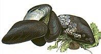Muschelfleisch TK