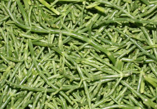 Salicorn-Algen (Queller)