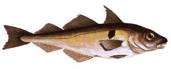 Schelllfisch o.K. - frisch
