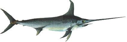 Schwertfisch-Filet -frisch